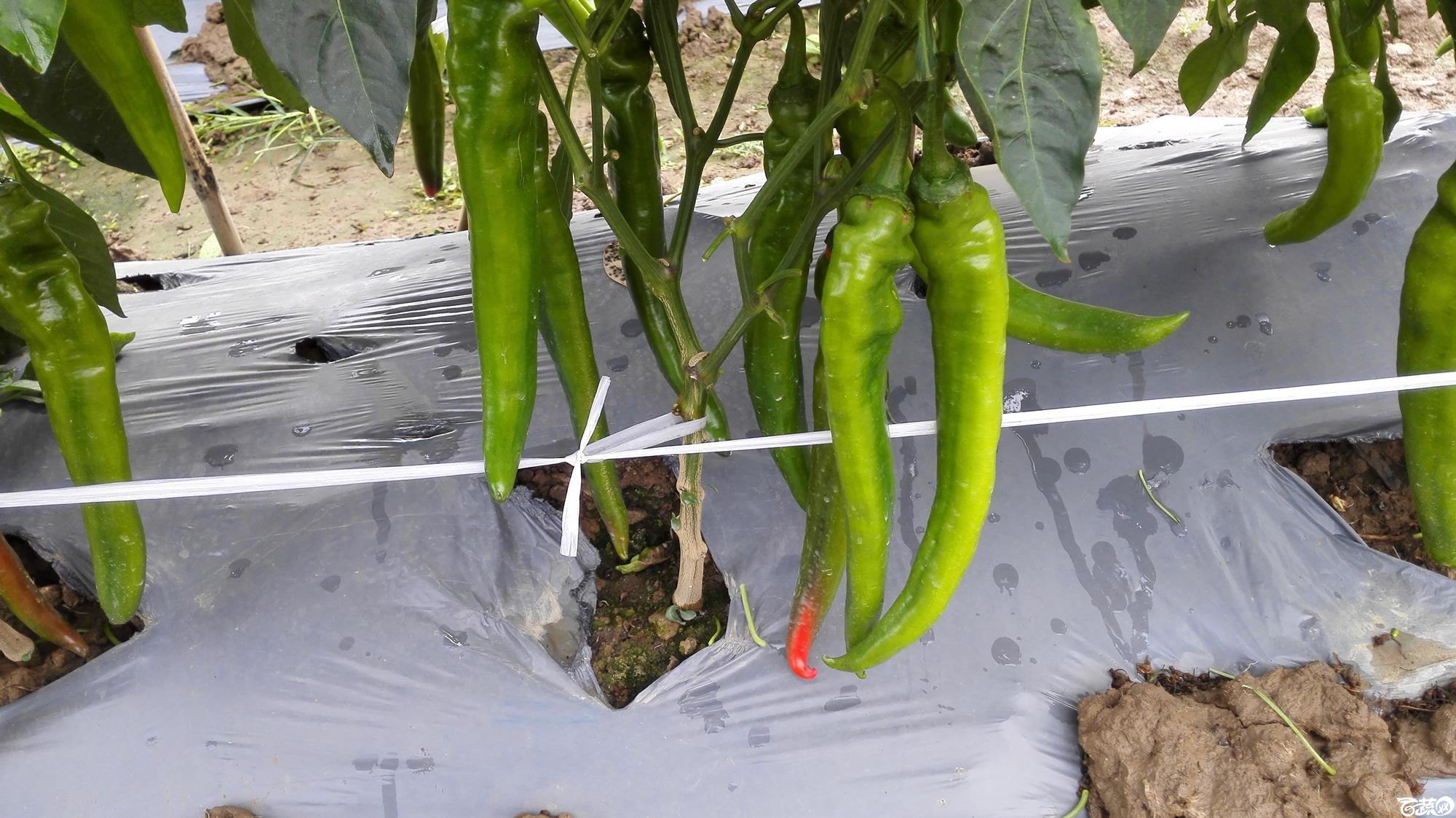 2014年12月8号中山蔬菜新品种展示会_辣椒_183.jpg