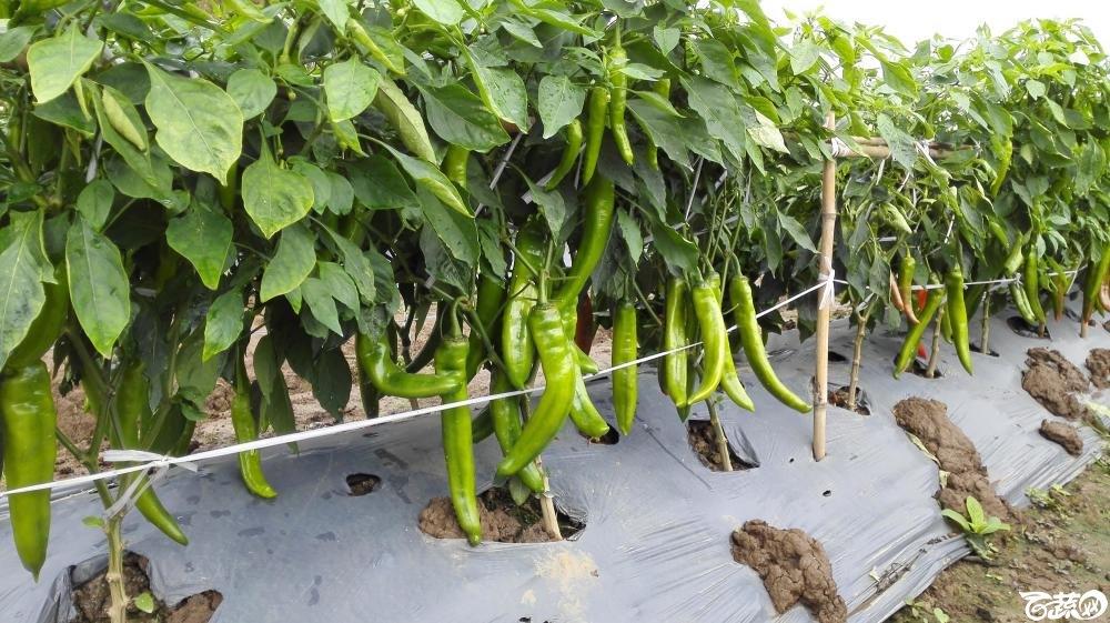 2014年12月8号中山蔬菜新品种展示会_辣椒_184.jpg