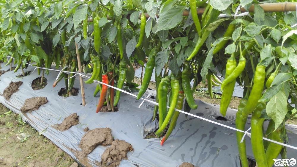 2014年12月8号中山蔬菜新品种展示会_辣椒_187.jpg