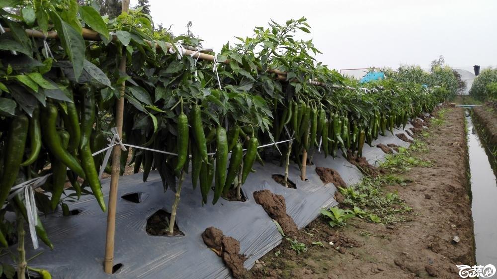 2014年12月8号中山蔬菜新品种展示会_辣椒_195.jpg