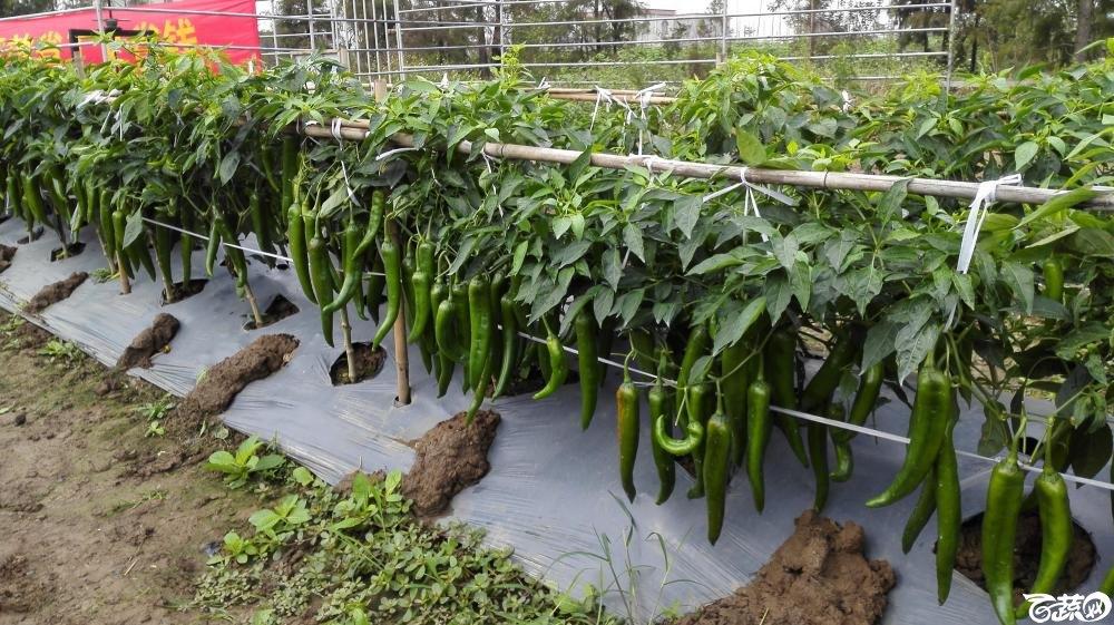 2014年12月8号中山蔬菜新品种展示会_辣椒_198.jpg