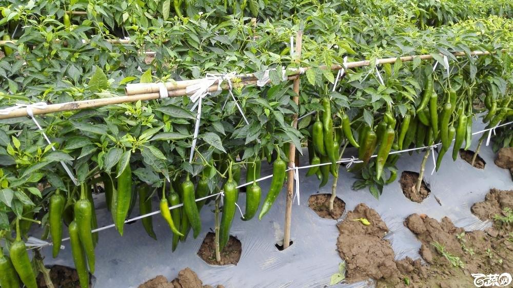 2014年12月8号中山蔬菜新品种展示会_辣椒_199.jpg