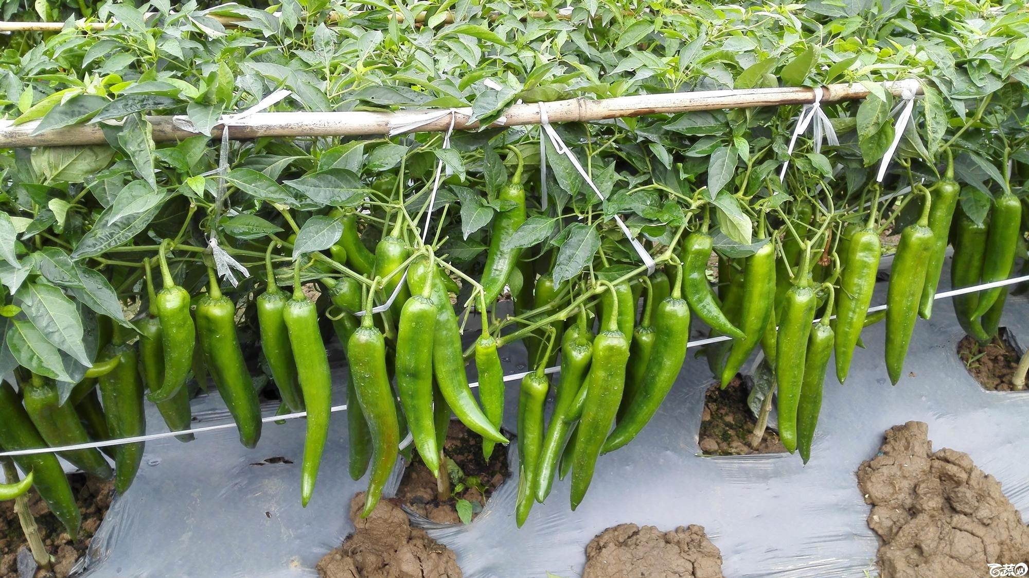 2014年12月8号中山蔬菜新品种展示会_辣椒_201.jpg