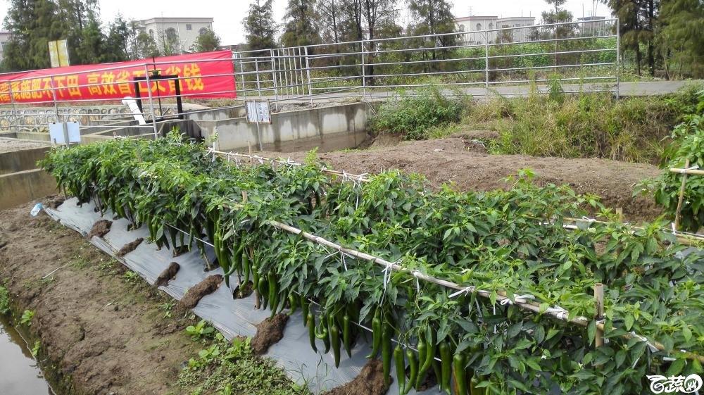 2014年12月8号中山蔬菜新品种展示会_辣椒_206.jpg