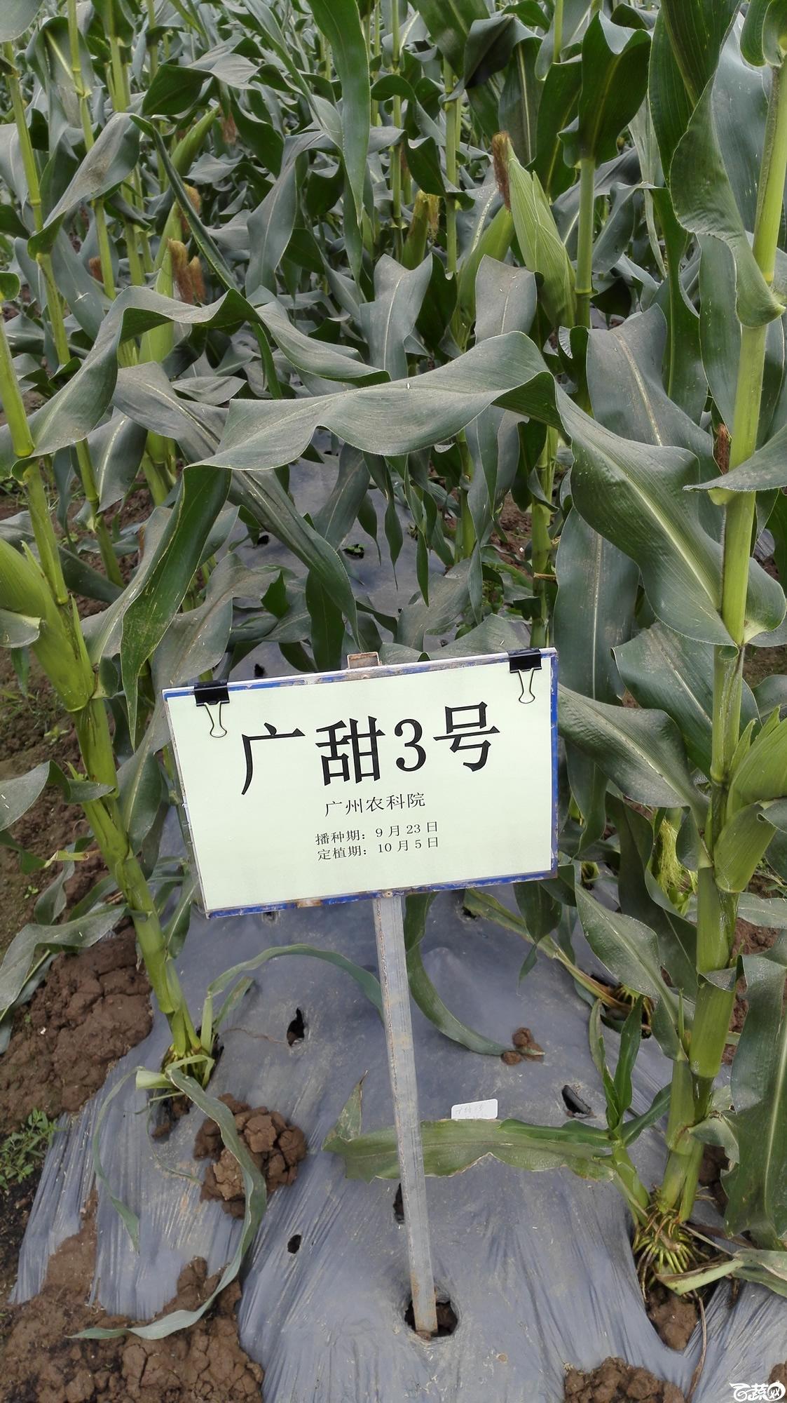 2014年12月8号中山蔬菜新品种展示会_甜玉米_212.jpg
