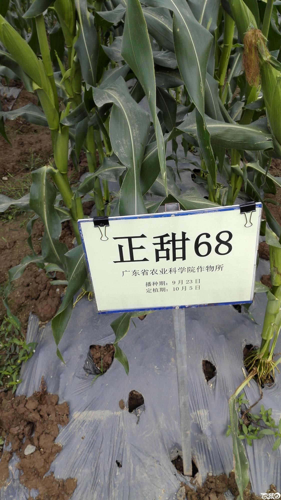 2014年12月8号中山蔬菜新品种展示会_甜玉米_215.jpg