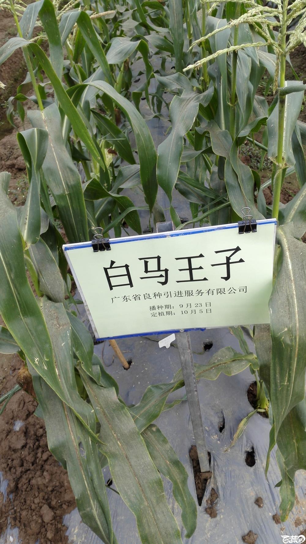 2014年12月8号中山蔬菜新品种展示会_甜玉米_219.jpg
