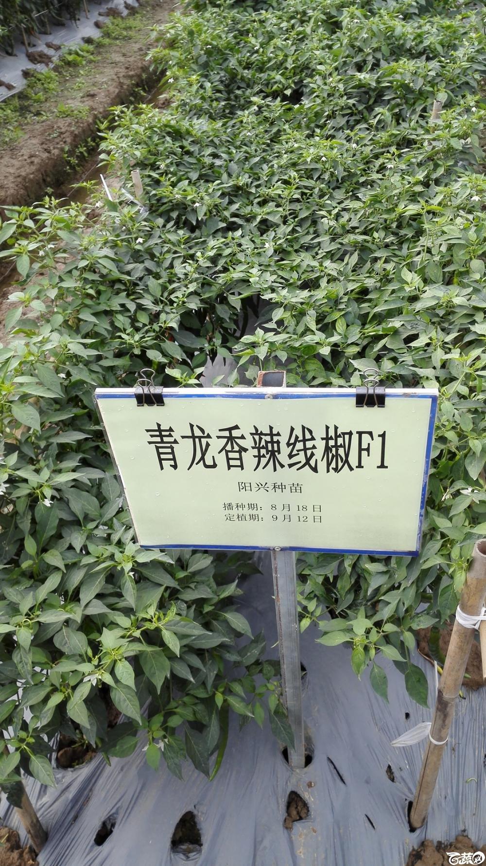 2014年12月8号中山蔬菜新品种展示会_辣椒_222.jpg