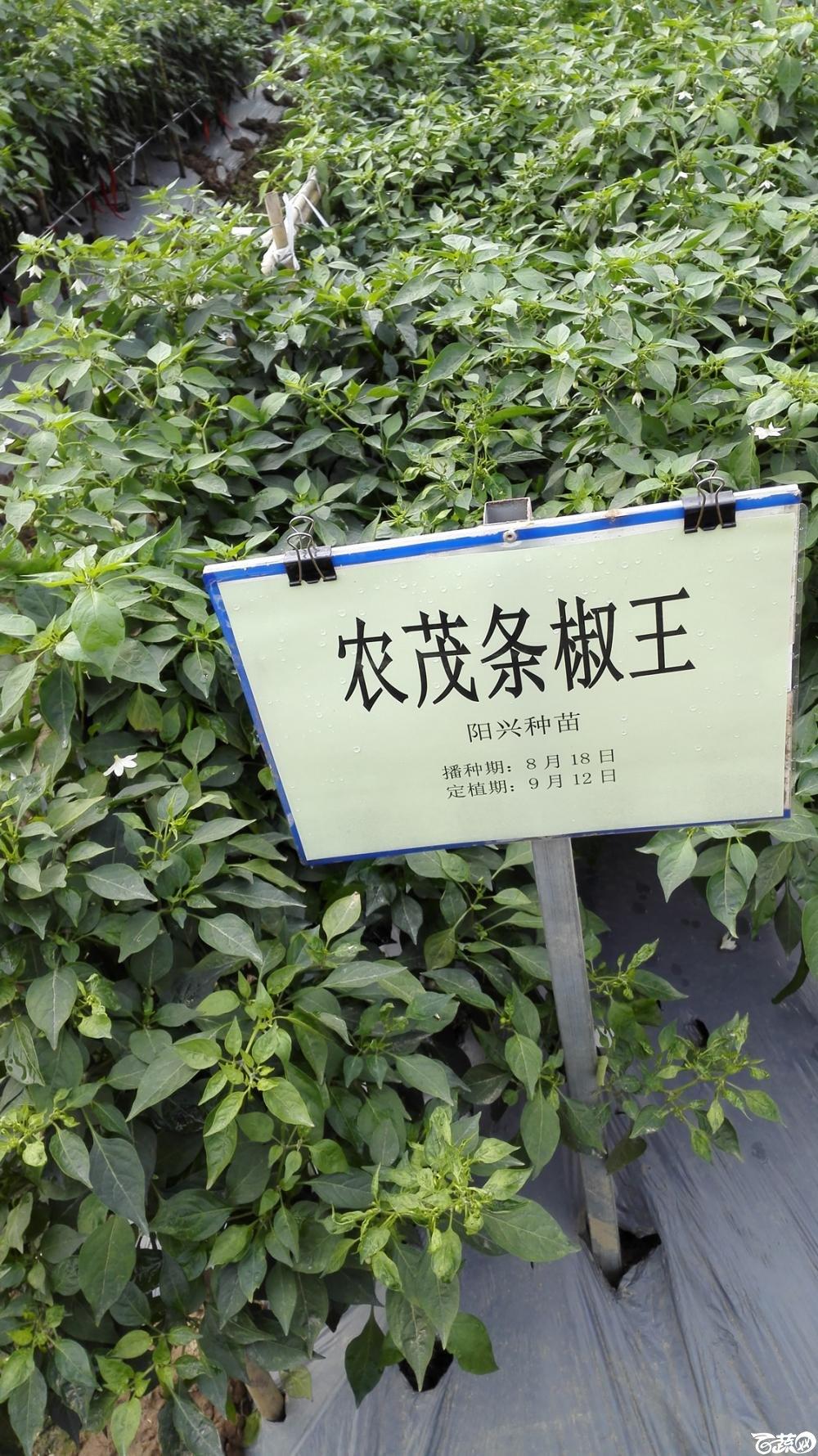 2014年12月8号中山蔬菜新品种展示会_辣椒_228.jpg
