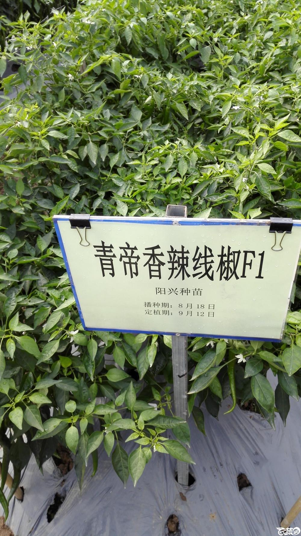2014年12月8号中山蔬菜新品种展示会_辣椒_241.jpg