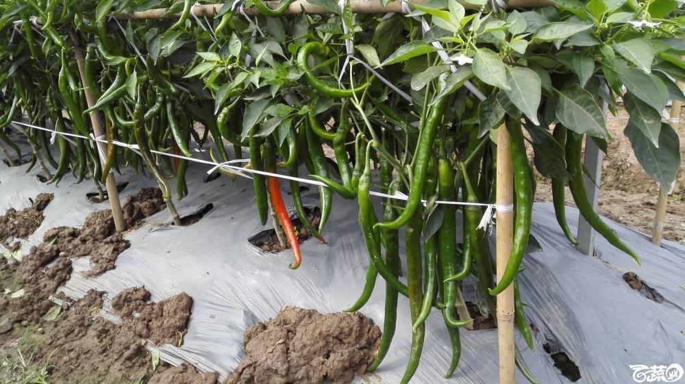 2014年12月8号中山蔬菜新品种展示会_辣椒_245.jpg