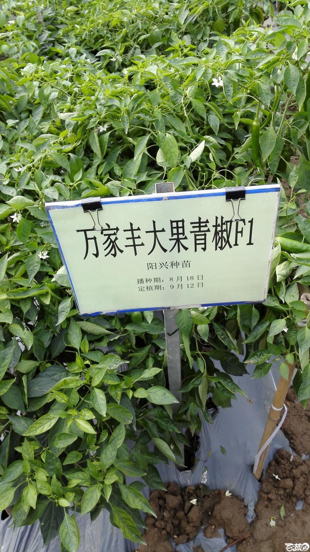 2014年12月8号中山蔬菜新品种展示会_辣椒_247.jpg