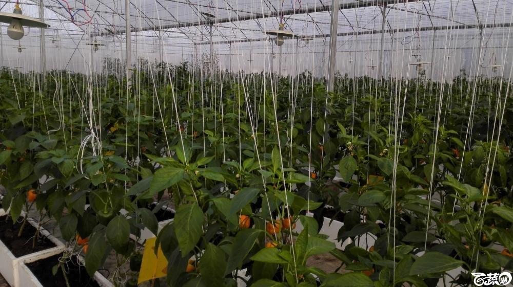 2014年12月8号中山蔬菜新品种展示会_辣椒_268.jpg