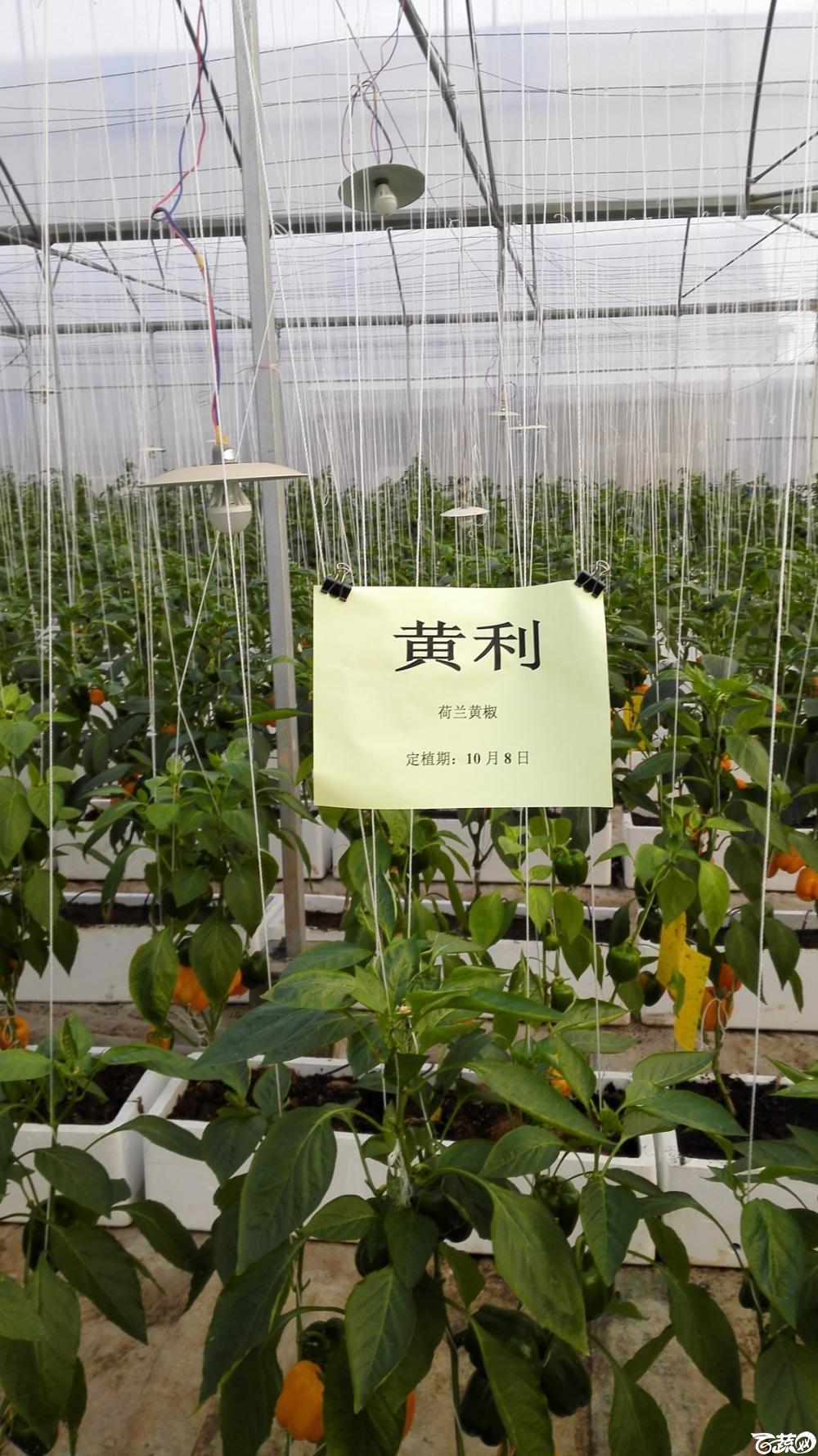 2014年12月8号中山蔬菜新品种展示会_辣椒_274.jpg