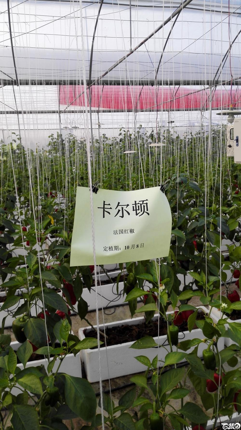 2014年12月8号中山蔬菜新品种展示会_辣椒_275.jpg