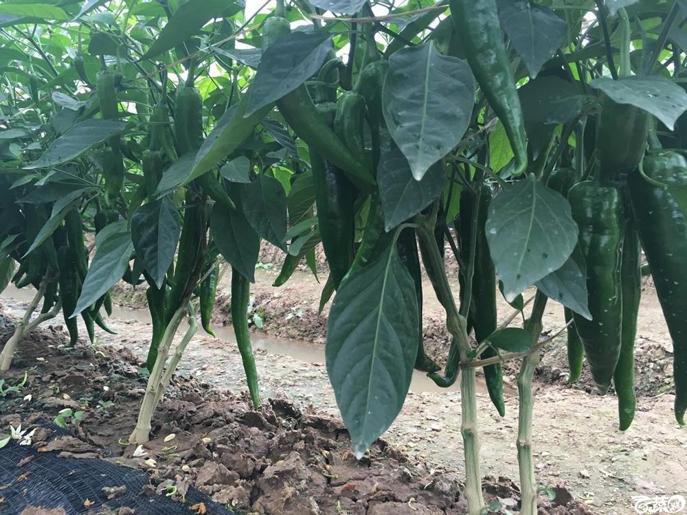 2015年南沙蔬菜展示会广州阳兴种苗铁柱168大果青椒王_003.jpg