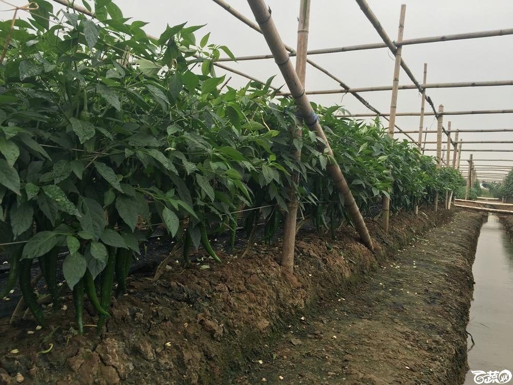 2015年南沙蔬菜展示会广州阳兴种苗铁柱168大果青椒王_009.jpg