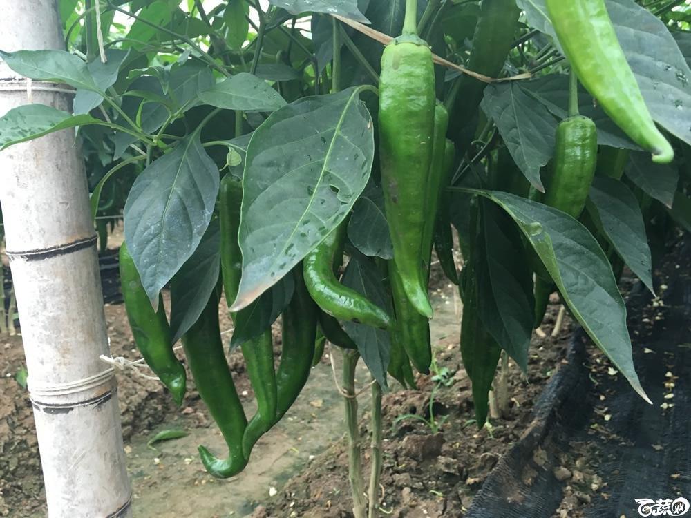 2015年南沙蔬菜展示会广州阳兴种苗亿农发青椒_005.jpg