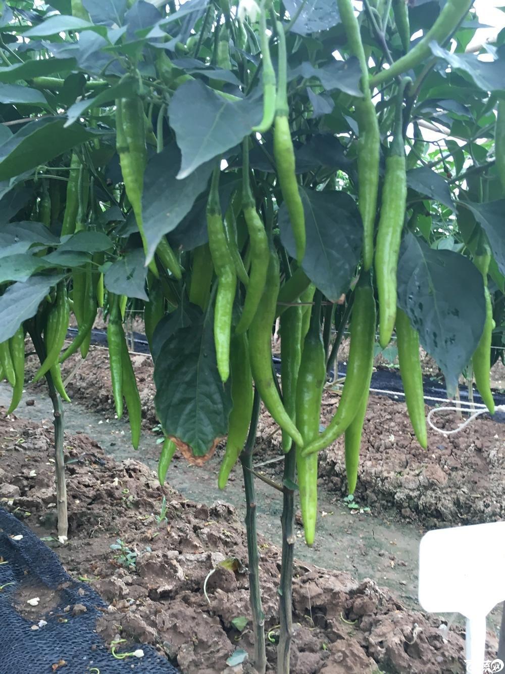 2015年南沙蔬菜展示会广州阳兴种苗长富八号红椒_004.jpg