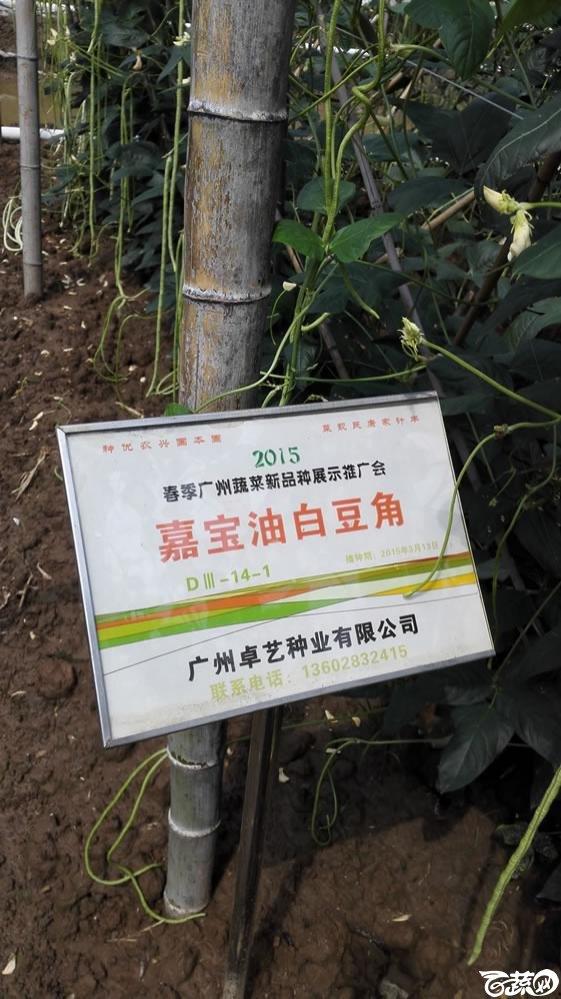 2015年春季广州蔬菜新品种展示推广会-卓艺嘉宝油白豆角-001.jpg