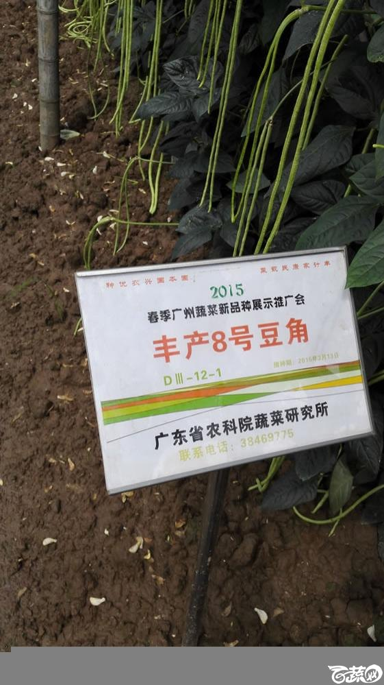 2015年春季广州蔬菜新品种展示推广会-粤蔬丰产八号豆角-001.jpg