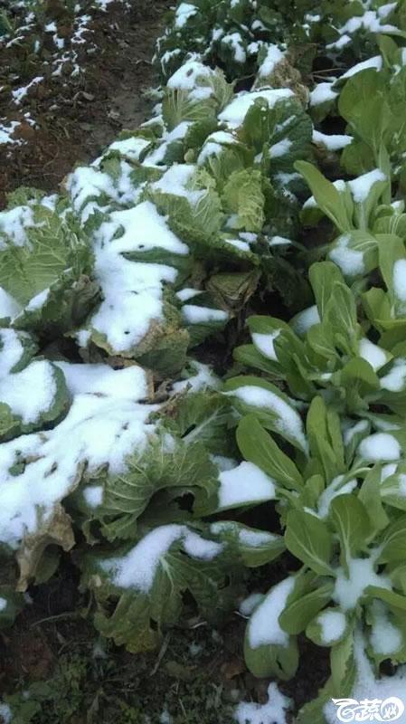 冬天雪地蔬菜 001.jpg