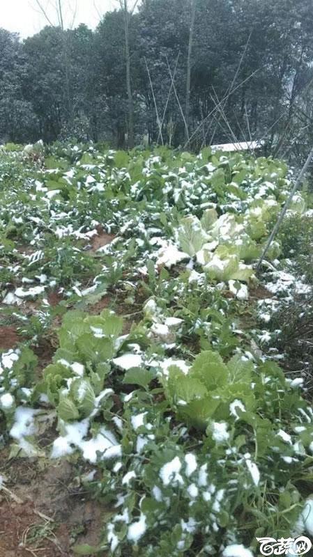 冬天雪地蔬菜 002.jpg