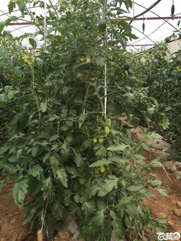 小番茄 006.jpg