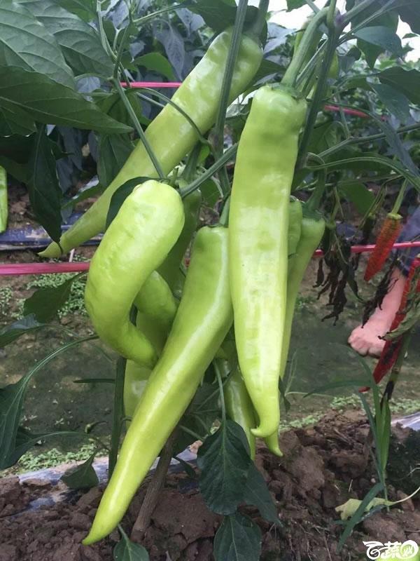 中国农科院中农福得就是椒傲 024.jpg