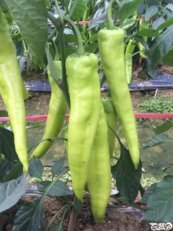 中国农科院中农福得就是椒傲 026.jpg