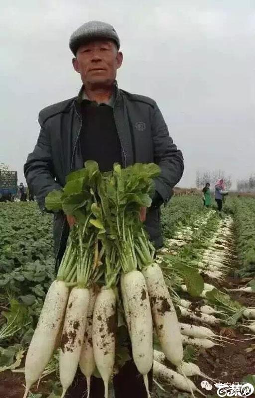 北京中农绿亨新优品种大展播之萝卜 019.jpg