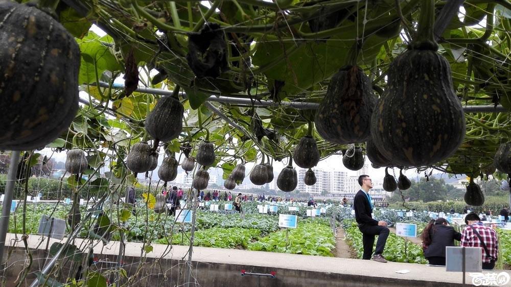 2015年双12广东种业博览会全国优良蔬菜品种田间表现-广东和利农杂交4号南瓜-009.jpg