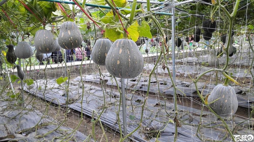 2015年双12广东种业博览会全国优良蔬菜品种田间表现-广州惠研种苗小南瓜3号-004.jpg