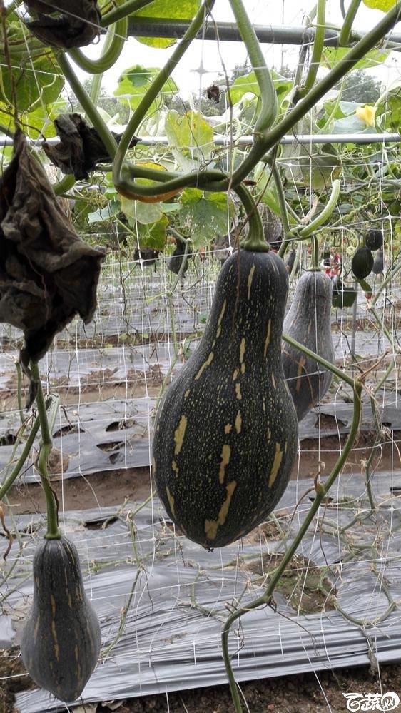 2015年双12广东种业博览会全国优良蔬菜品种田间表现-广州卓艺种苗香芋南瓜-004.jpg