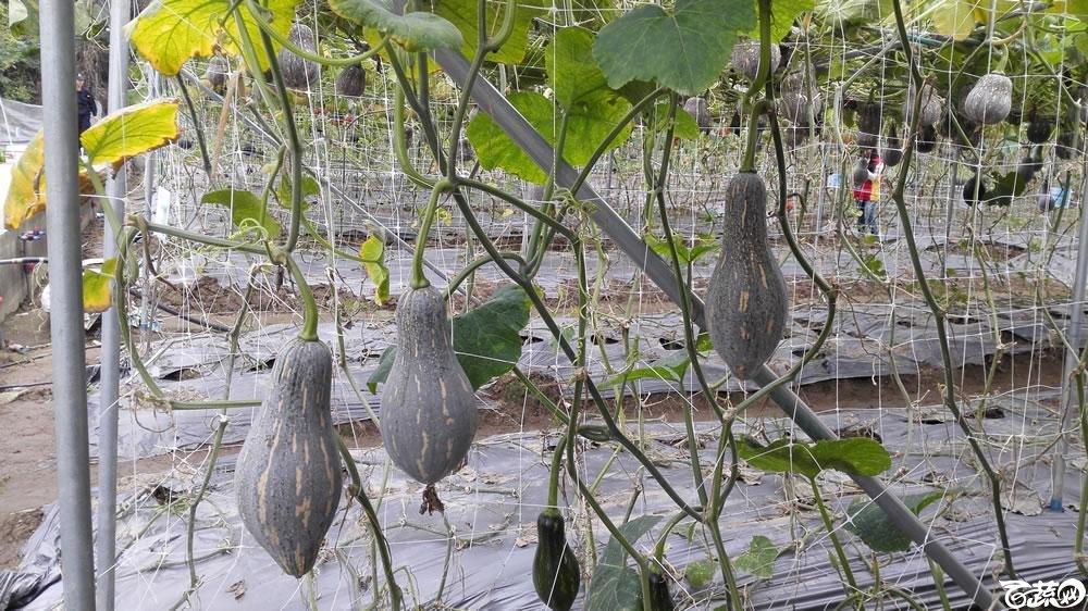 2015年双12广东种业博览会全国优良蔬菜品种田间表现-广州卓艺种苗香芋南瓜-007.jpg