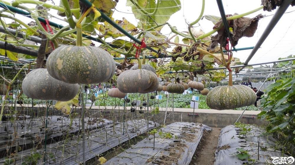 2015年双12广东种业博览会全国优良蔬菜品种田间表现-衡阳德丰源种业一串铃6号小南瓜-004.jpg
