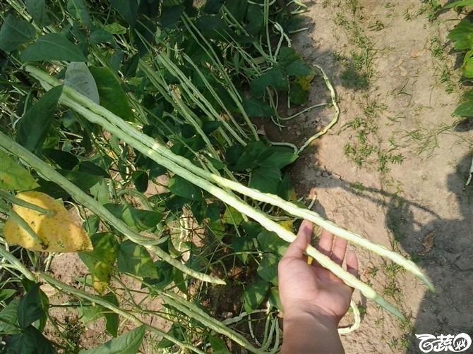 2012年十月条条金白籽油白豆角基地实景 条条金_2.jpg