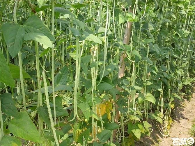 2012年十月条条金白籽油白豆角基地实景 条条金_7.jpg