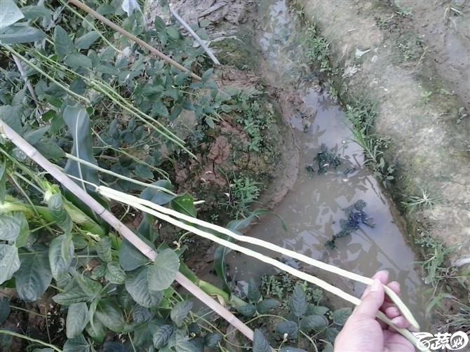 惠州豆角-2012年五月田间品种 五月田间品种_82.jpg