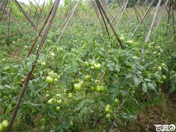 有限生长西红柿 P1040633_19.jpg