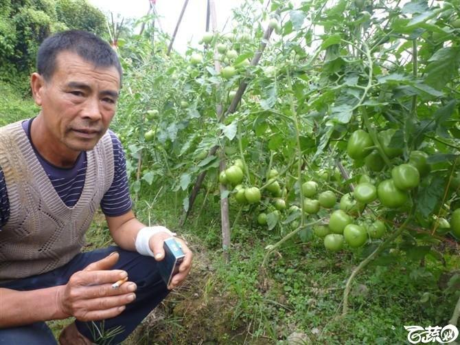 有限生长西红柿 P1040637_23.jpg