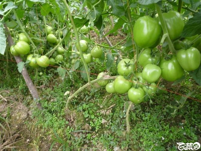 有限生长西红柿 P1040641_27.jpg