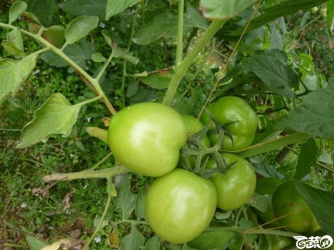 有限生长西红柿 P1040646_32.jpg