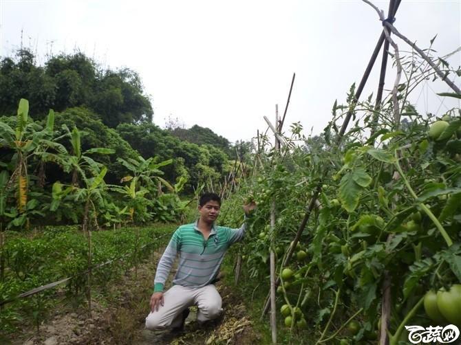 有限生长西红柿 P1040660_33.jpg