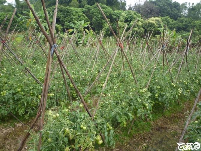 有限生长西红柿 P1040670_43.jpg