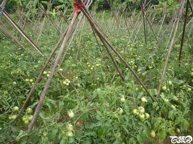 有限生长西红柿 P1040673_46.jpg