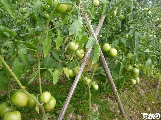 有限生长西红柿 西红柿_6.jpg