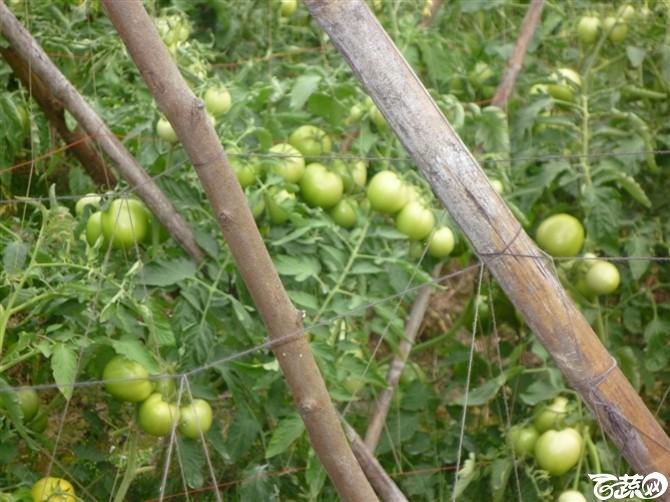 有限生长西红柿 西红柿_8.jpg