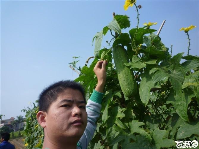 近口西葫芦台湾水瓜田间表现有现货 P1040551_30.jpg