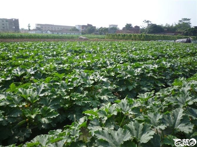 近口西葫芦台湾水瓜田间表现有现货 好品种尽在福田益农种子店_2.jpg